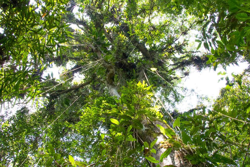 Pura Aventura - Árvore Mãe no Parque das Neblinas